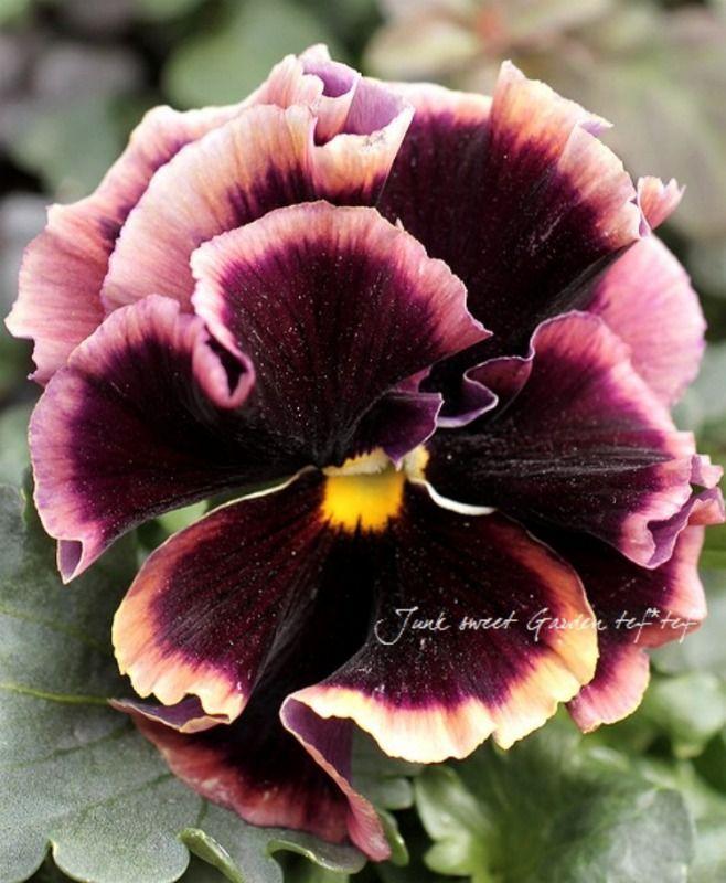 Viola - Luxury selection 2014