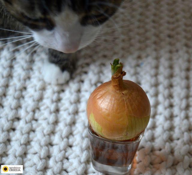 Ogrodnicza Obsesja: Co zrobić z psującą się cebulą, czyli własny szczy...