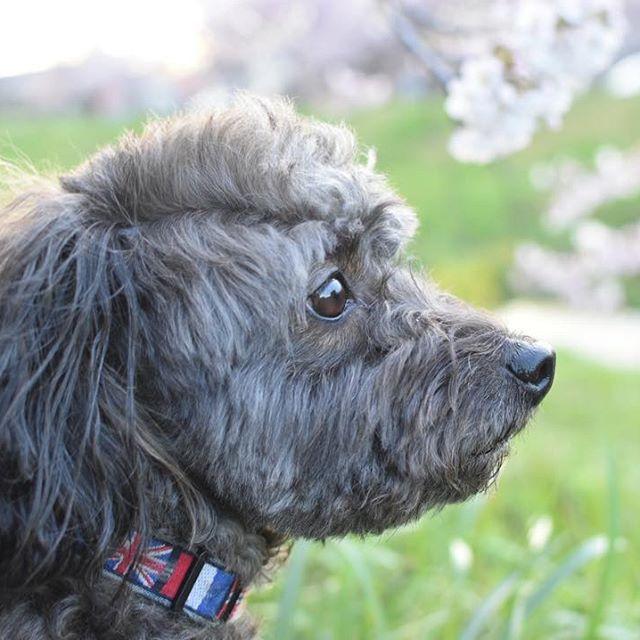桜とワンコ . #Nikon#d5500#わんこ#ワンコ#愛犬#ミックス犬#プーチー#チワプー#親バカ部#親バカ#ワンコなしでは生きて行けません会#ワンコとの暮らし#癒やしわんこ#わんこなしでは生きていけません会#写真好きな人と繋がりたい#デジタル一眼レフ#単焦点#単焦点レンズ#単焦点レンズの世界#dog#mix犬#mixdog#mix#toypoodle#likeforlike#petstagram#dogstagram#cutedog#smalldog#dogoftheday