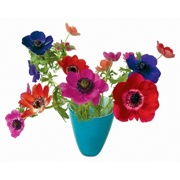 Anemone in a blue vase (flat flower)