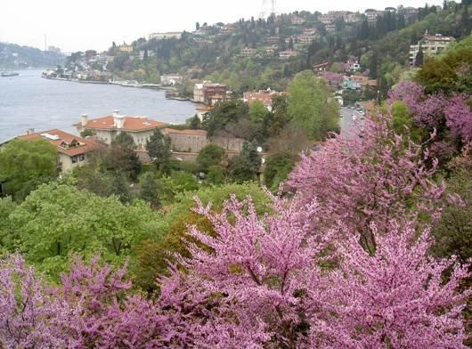Boğazda erguvan vakti..  Time for judas-tree at Bosphorus...