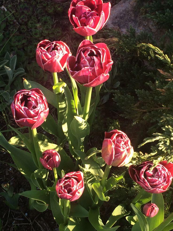 Tulip Dream touch
