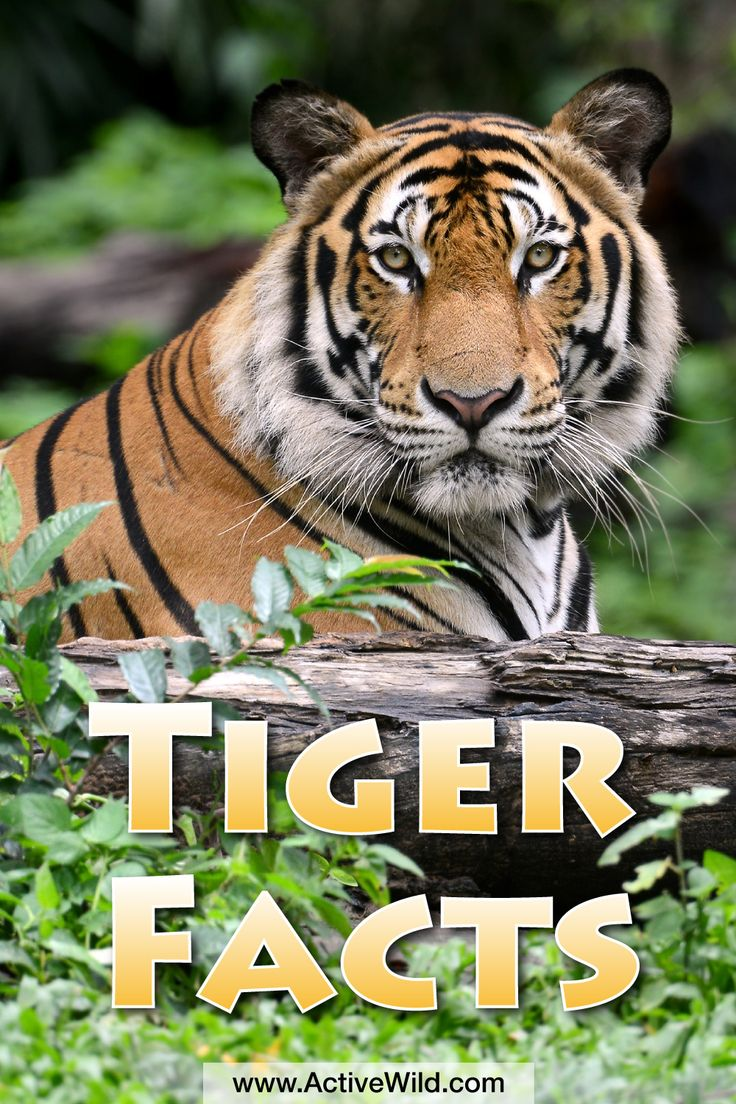 Tiger facts for kids. This beautiful but deadly animal is endangered and badly needs our help.