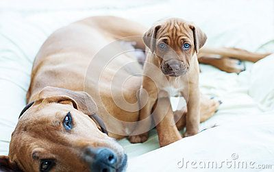 An african Rhodesian Ridgeback puppy is sitting beside its mother. The little puppy is looking straight into the camera. The little dog is four weeks of age.