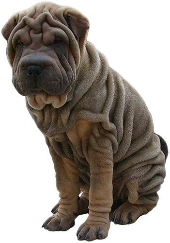 Shar Pei I can imagine one of my baby's parents looked like this <3