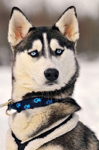 Portrait of a serious but beautiful husky