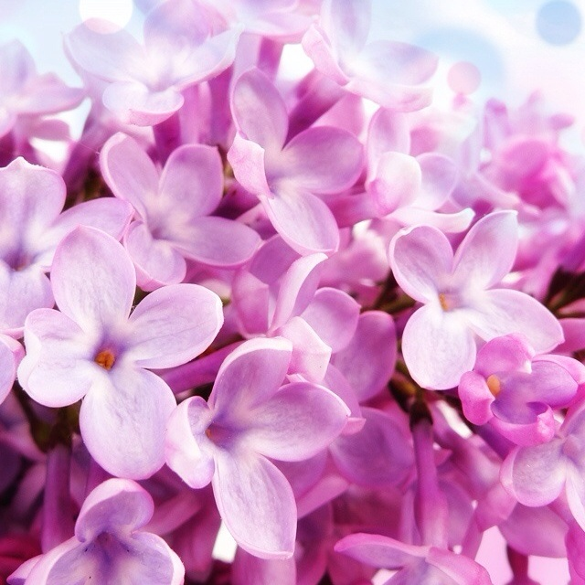 Soft purpleCherries Blossoms, Iphone Wallpapers, Pink Flower, Fragrance, Lilac, Backgrounds, Wedding Flower, Inspiration Quotes, Beautiful Things