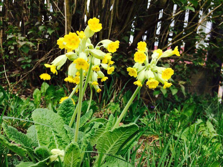 petrklíč, prvosenka vyšší (Primula elaitor)