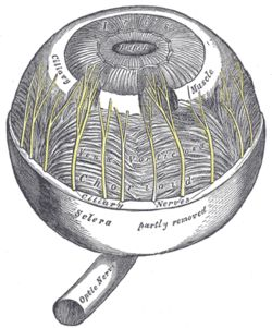 The ciliary muscle /ˈsɪli.ɛəri/ is a ring of smooth muscle[2][3] in the eye's middle layer (vascular layer) that controls accommodation for viewing objects at varying distances and regulates the flow of aqueous humour into Schlemm's canal. It changes the shape of the lens within the eye, not the size of the pupil which is carried out by the sphincter pupillae muscle and dilator pupillae.