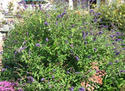 'Adonis Blue' Butterfly Bush.  It's sterile, so can't escape!