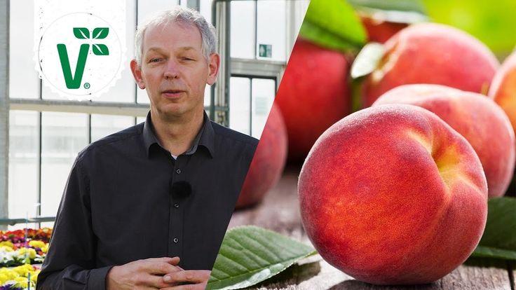 Kräuselkrankheit bei Pfirsichen: Wie kann man der