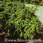 Berberis verruculosa - Warzen-Berberitze