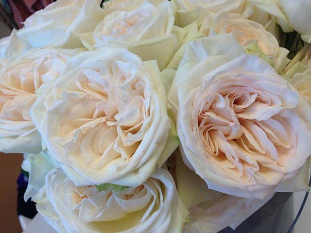 White O 39 Hara Rose White O 39 Hara Garden Rose Fragrant Ivory And Big