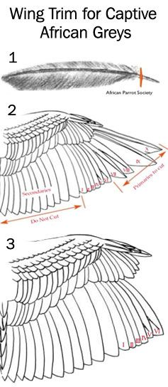 Wing Trim for African Greys - Bobbi Brinker; reviewed by Marc Kramer, DVM For safety indoors, the primary flight feathers must be restricted by clipping; however, the secondary wing feathers, which are vital for a controlled landing, should not be cut. From the underside, the flight feather is gently lifted to expose the bare portion of the shaft. The flight feather is clipped above the barbules (1). Clipping flights VII through X will provide safety indoors.