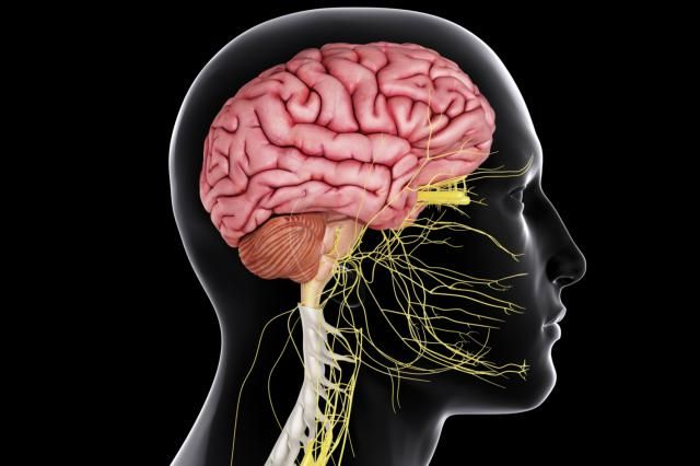 The central nervous system is responsible for processing information received from all parts of the body. The main organs are the brain and spinal cord.