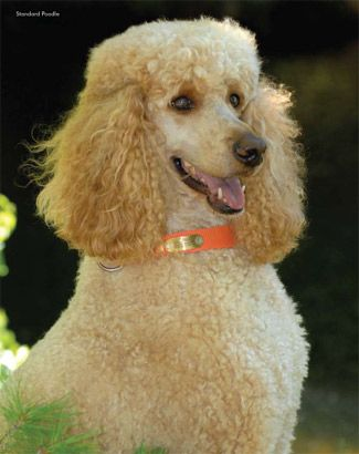 Apricot Standard Poodle | Oodles of Poodles | Pinterest