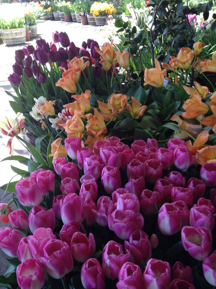 Tradition: It is our springtime tradition to visit the Ironstone Winery in the Sierra Foothills to observe their amazing display of tulips and other bulbs in bloom. (a little wine tasting occurred as well).