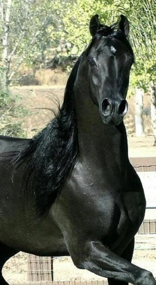 A Purebred Arabian will always fit the bill of a stylish and showy mount, however they also have so much more to offer. (For Instance: Where do you think the American Quarter Horse and Thoroughbreds got their speed?)