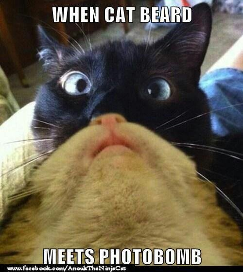 2181a8756e7ed98cb6e9f87333c4d452 beards cat face 20 best cat beards images on pinterest funny stuff, funny things