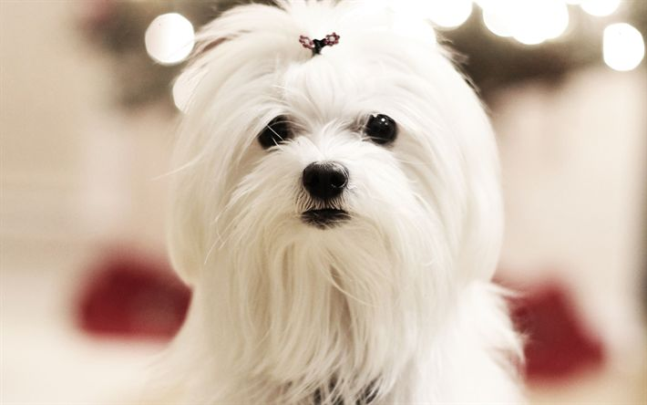 Download wallpapers Maltese, muzzle, cute animals, furry dog, pets, dogs, Maltese dog