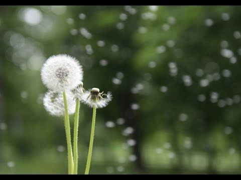 Flower Magic: Dandelions (Finnish With Subs)