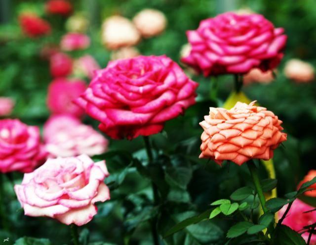 Minden, amit tudni érdemes a mini rózsákról.