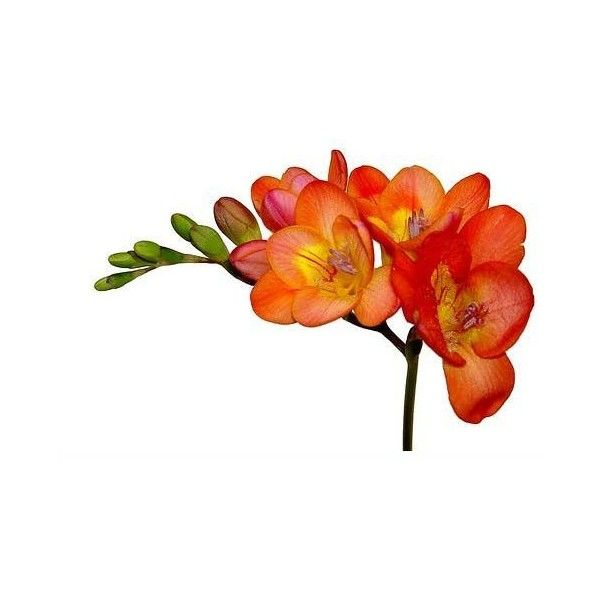Freesia flowers pictures. ❤ liked on Polyvore featuring home and home decor
