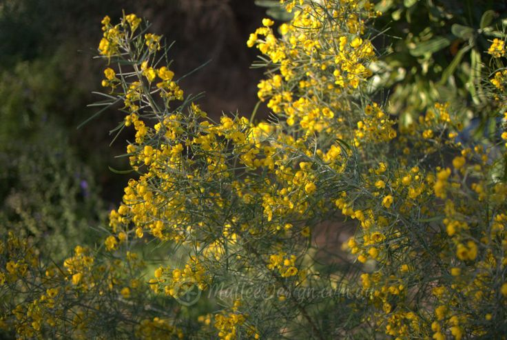 2262 best australian native plants images on pinterest