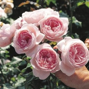 """Rosa Nahema - geurende klimroos - 250 x 250 cm -   7-9 - volledig winterhard - goede snijbloem - donkergroen blad. """"This gorgeous climber has extremely fragrant blooms that have a heady scent of citronella mixed with peach, apricot and pears. Ideal for training over a sunny fence or wall""""."""