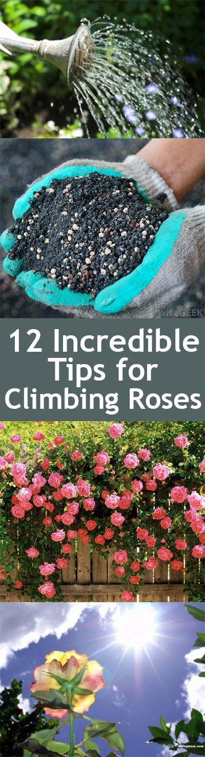 12 Incredible Tips for Climbing Roses