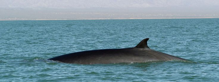 Fin Whale - endangered / WWF