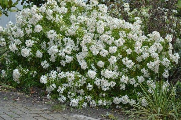 Choisya ternata'Aztec Pearl' is een compacte wintergroene groenbladige…