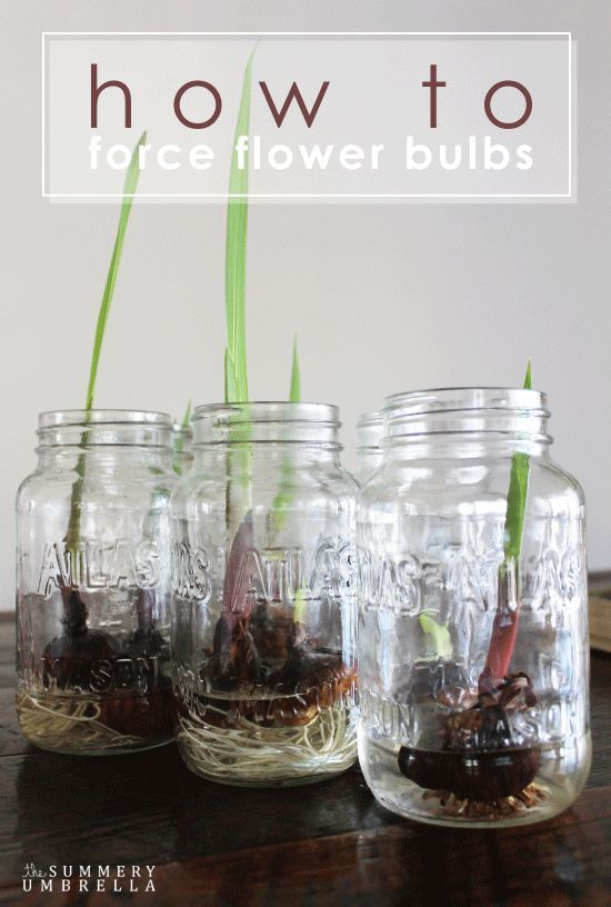How to Force Flower Bulbs. Check out this little gardening trick! #garden #bulbs #flowers