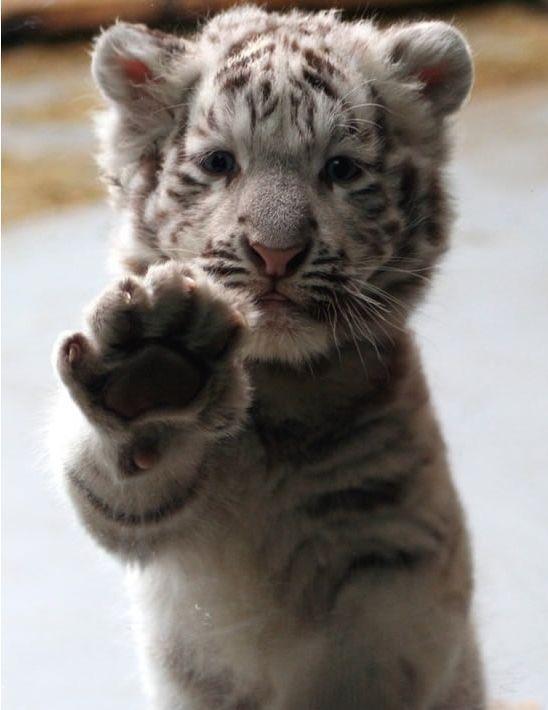 Paw.: Big Cat, White Tigers, High Five, Animal Baby, So Cute, Pet, Baby Animal, Tigers Cubs, Baby Tigers