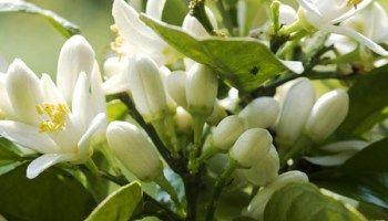 Huile essentielle de néroli ou oranger amère
