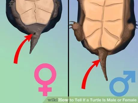 Image titled Tell if a Turtle Is Male or Female Step 6