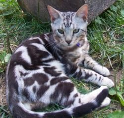 Silver Marble Bengal Cat | Click for marble Bengal cat info and pictures