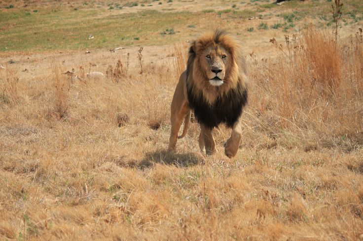 Lion running, Cradle of Humankind, Gauteng