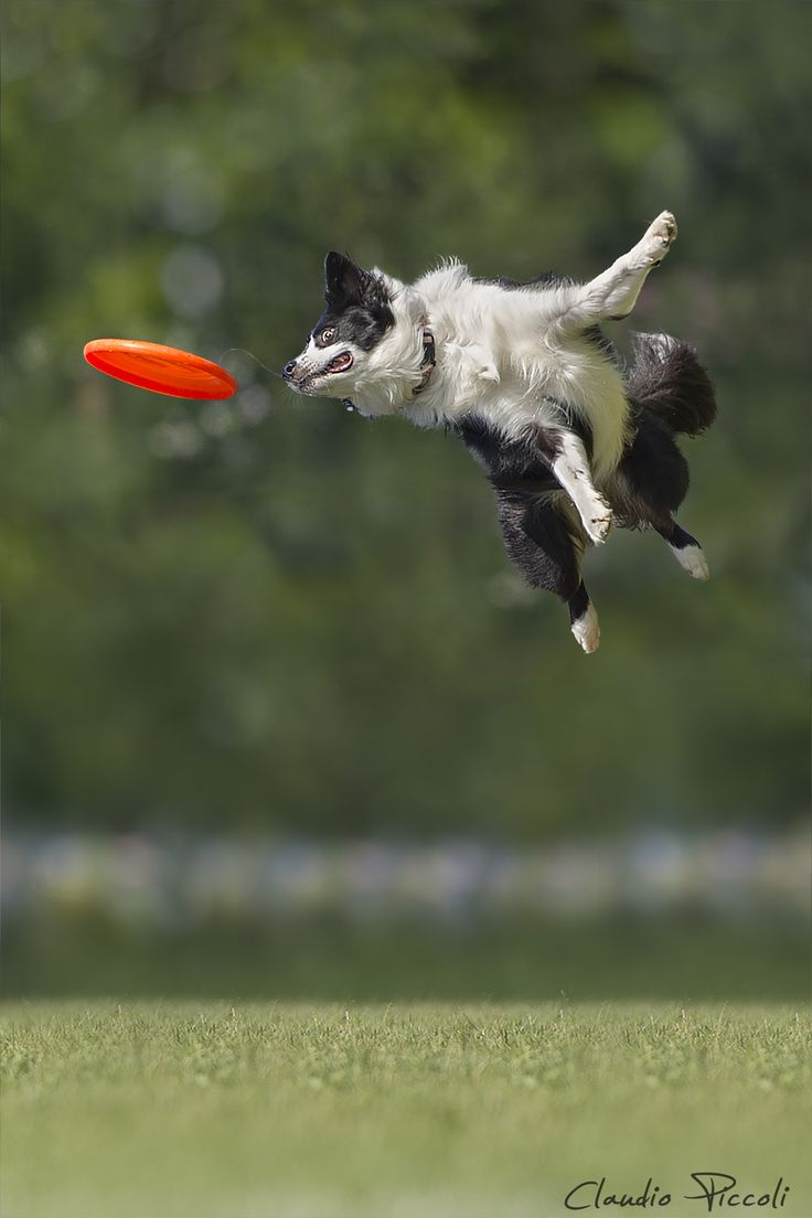 ˚Border Collie during a Disc Dog Race Jumping