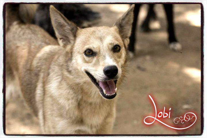 Lobi pasó dos años encerrada en un chenil de la perrera de Almonte. Tuvo la oportunidad de empezar una nueva vida, pero la devolvieron al Refugio. Necesita #adopcion y un hogar donde ser feliz.