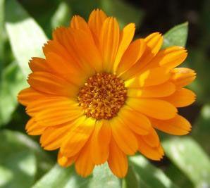 Egyszerű és olcsó körömvirág krém