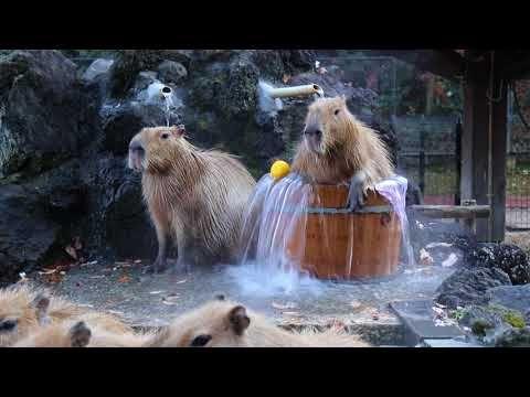 狭いたらいにムリヤリ割り込む姉カピバラ (Sister capybara gets in a small bath by force) - YouTube