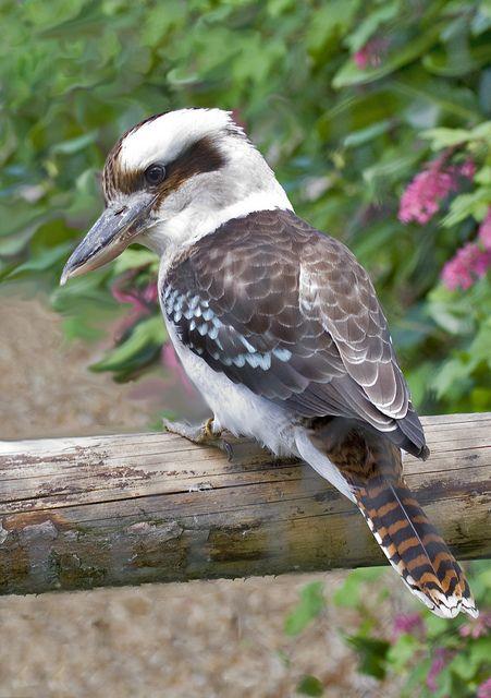 have seen this little guy quite a bit, here in brisbane. the kookaburra