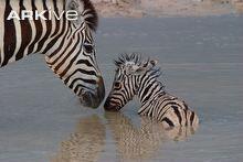Plains zebra and foal bathing