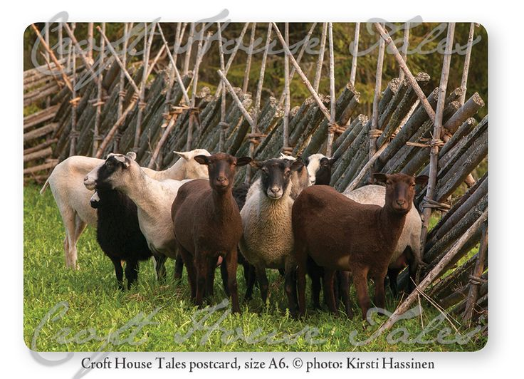 Summer Sheep, Eastern Finland (Koli) Croft House Tales postcard.