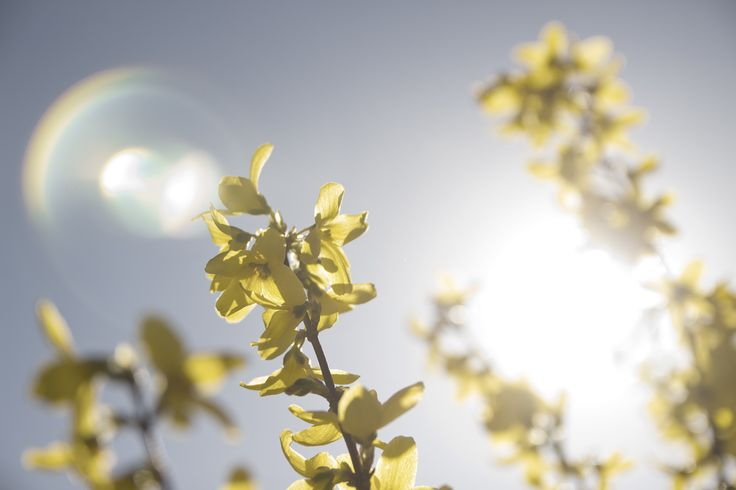 Spring flowers in the sun. Solar flare.