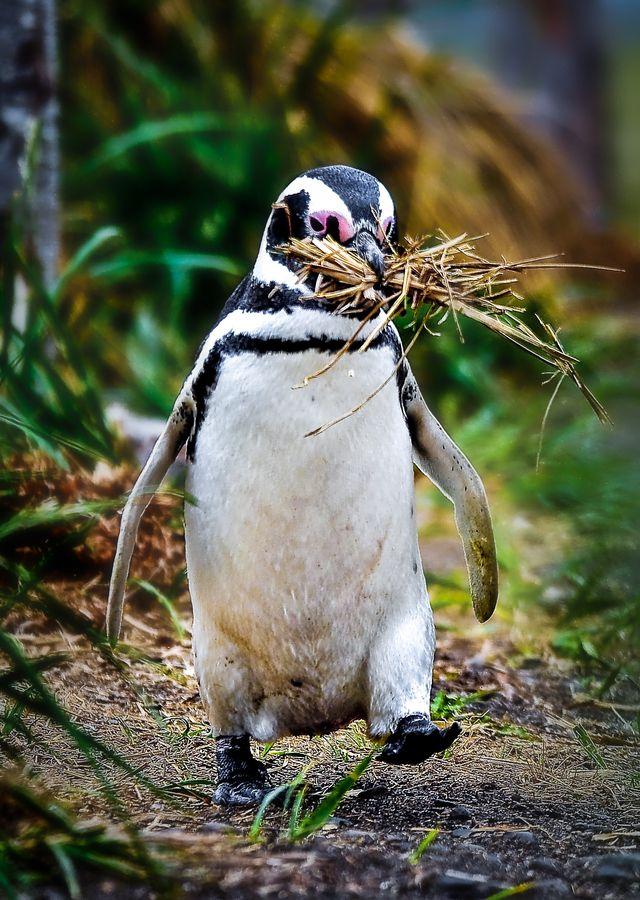 Los pingüinos de Magallanes (Spheniscus magellanicus). Parque Nacional, el Canal de Beagle.