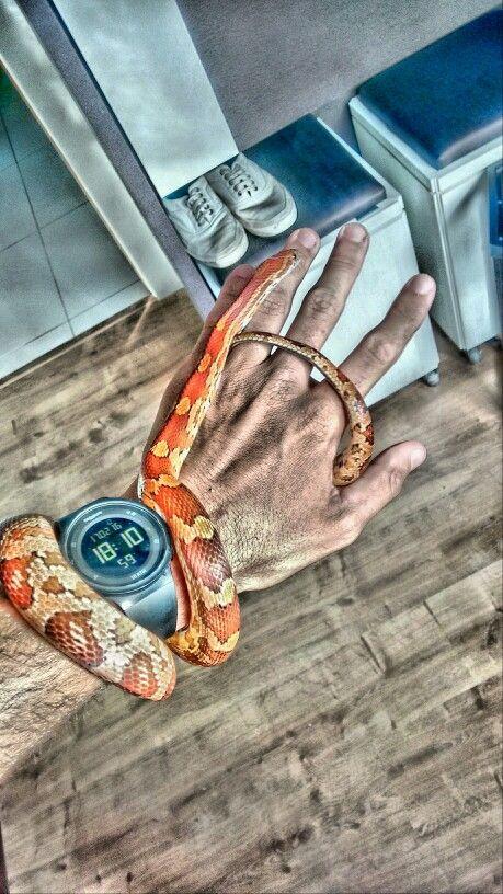 Corn snake classic