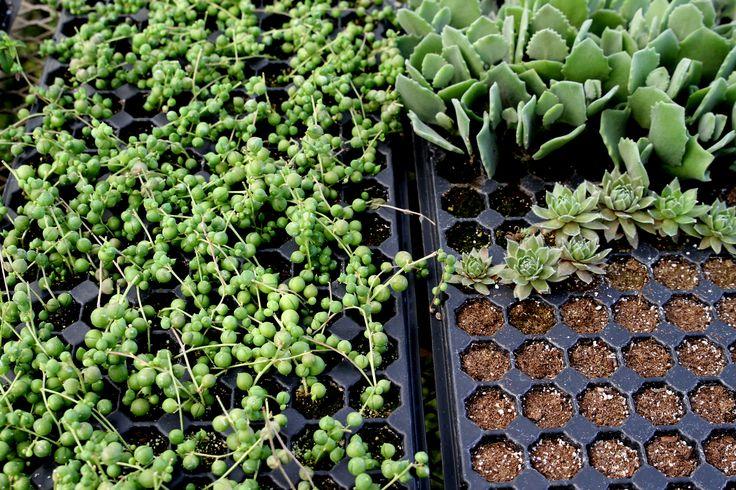 Gaddis Wholesale Nursery…Preparing Plants for Our Gardens! – The Radish Patch