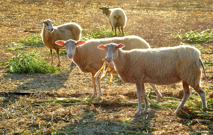 Cute Sheep by lucanii  on 500px - Greece, Crete, Kolimbari